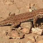 7347e  sunning lizard  **Explore** thumbnail