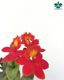 Epidendrum radicans Hybride #Orchideen #Orchidee #Orchideengarten #orchid #orchids #orchidaceae #Dahlenburg #Wendland #Niedersachsen #Norddeutschland #Ausflugsziel #Gruppenangebote #Hamburg #Lüneburg