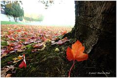 She Picked You - Foggy Fall XP7296e (Harris Hui (in search of light)) Tags: harrishui fujixpro2 digitalmirrorlesscamera fuji fujifilm vancouver richmond bc canada vancouverdslrshooter mirrorless fujixambassador xpro2 fujixcamera fujixseries fujix fuji1024mmf4 fujizoomlens fall autumn fallleaves fallleaf shepickedyou foggy morning neighbourhood tree seasonal walk lonely single singleleaf fog