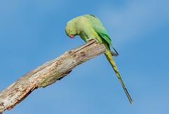 JWL2407  R.N. Parakeet.. (jefflack Wildlife&Nature) Tags: ringneckedparakeet parakeet bushypark parklands parks royalparks birds avian animal wildlife wildbirds woodlands countryside nature