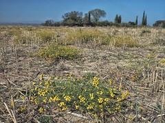 Tanacetum microphyllum (josémaríagutiérrezpérez) Tags: compuestas asteraceae tanacetummicrophyllum tanacetum
