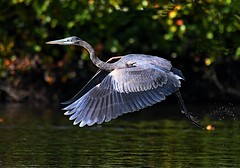 Great Blue Heron (KoolPix) Tags: koolpix jaykoolpix naturephotography nature wildlife wildlifephotos naturephotos naturephotographer animalphotographer wcswebsite nationalgeographic fantasticnature amazingnature wonderfulbirdphotos animal amazingwildlifephotos fantasticnaturephotos incrediblenature naturephotographywildlifephotography wildlifephotographer mothernature greatblueheron heron bird bif birdinflight flying flight wings beak feathers