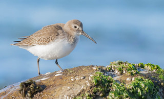 Dunlin (Calidris alpina) - Point Roberts, WA
