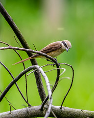 20171007-EM125593 (shutterblades) Tags: bidadari birds longtailedshrike olympusem1mkii olympusmzuiko300mmf4pro14tc