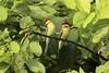 08714 - Chestnut-headed Bee-eater (a320rainman) Tags: chestnutheadedbeeeater birds nepal