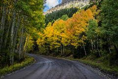 Roadside Aspens (Kurt Lawson) Tags: aspen aspens autumn batch1 campbird colorado copyrighted evergreen fall forest fresh gold ouray pine quakenaspen quaking raod snow tree trees yellow