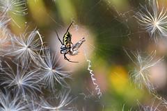 The Writing on the Web (NaturalLight) Tags: blackandyellow gardenspider spider chisholmcreekpark wichita kansas argiope