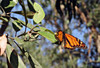 Monarch on a toyon (TJ Gehling) Tags: insect lepidoptera butterfly nymphalidae monarch monarchbutterfly danaus danausplexippus plant tree rosales rosaceae toyon heteromeles heteromelesarbutifolia albanyhill albanyca
