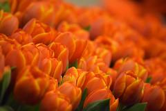 narančasti tulipani / orange tulips (Hrvoje Šašek) Tags: smileonsaturday vividorange tulipani tulips narančasto orange svjetlo light cvijeće flowers cvijet flower priroda nature arnhem nederland netherlands nizozemska d3300 closeup 7dwf
