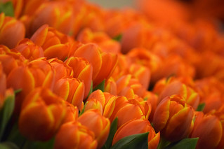 narančasti tulipani / orange tulips