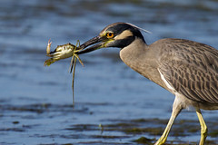 Yellow-Crowned Night-Heron  Catching a Blue Crab (dbadair) Tags: outdoor seaside shore sea sky water nature wildlife 7dm2 ocean canon florida bird crab ft desoto