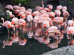 Flamingos (ingrid eulenfan) Tags: leipzig zoo vogel bird federvieh sonya77ii 85mm flamingo spiegelung 7dwf