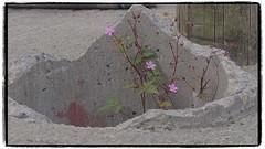 De Natuur herwind (Alexander 53) Tags: meij2600 alexander53 plaatjesmaker ierland flower bloem plant beton