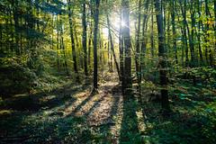 Sunny Autumn Forest (martinstelbrink) Tags: eifel südeifel germany rheinlandpfalz forest wald herbst autumn sony alpha7rii voigtländervmeclosefocusadapter ernzen teufelsschlucht backlight gegenlicht leicasummicron35mmf20preasph leicasummicron35mmf20i leica summicron 35mm f20 preasph deutschlluxemburgischernaturpark germanluxembourgnaturepark