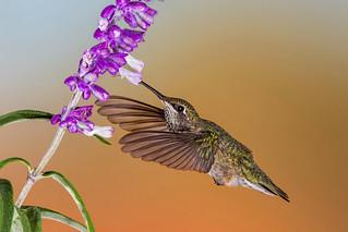 Black-chinned Hummingbird-4819-Edit