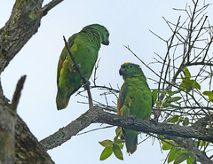 Lora Común, Yellow-crowned Parrot (Amazona ochrocephala) (Francisco Piedrahita) Tags: aves birds lamacarena colombia loracomún yellowcrownedparrot amazonaochrocephala