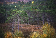 Friends (ShinyPhotoScotland) Tags: calendonianforest art highlands landscape intimatelandscape trees places scotland glenaffric nature caledonianforestreserve caledonianforest friends shapely gnarled old ancient wonderful scotspine pinussylvestris green colour awe beautiful heather