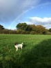 Rainbow Dog (Heaven`s Gate (John)) Tags: brock springer spaniel dog pet solihull raindow sunshine rain nature park green grass trees tail johndalkin heavensgatejohn walk clouds 10faves