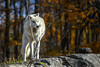 Parc Omega : October 22, 2017 (jpeltzer) Tags: ottawa parcomega quebec fall autumn fallcolours wildlife wolf
