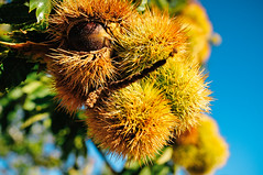 the family chestnut grove in Penela da Beira (Viseu, Portugal) (Gail at Large | Image Legacy) Tags: 2017 peneladabeira portugal castanhas chestnuts gailatlargecom