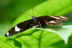 DSC04107 (denn22) Tags: butterfly schmetterling papillon september 2017 denn22 ilce7rm2 a7rm2 70200mmf28gmoss