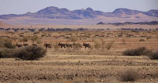 Wild Oryx Semi Arid Landscape Sesriem-Sossusvlei Region Western Namibia Southern Africa