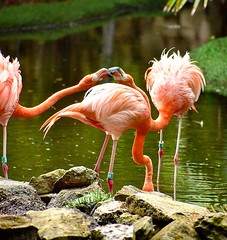 Feisty Flamingos (kylekusmik) Tags: feisty flamingo flamingos bird pink pretty beautiful pond animal wildlife nature mexico onelegged stand fight capture wild graceful family feud
