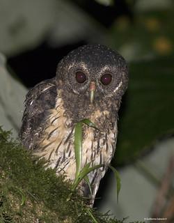 Mottled Owl (Ciccaba virgata)
