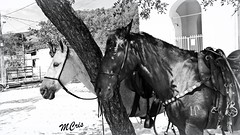 Black & White... MCris (MCrissssss) Tags: cavalos horses fauna natureza ser branco preto animal life vida photo
