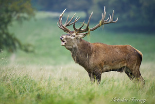 Red deer male in mating mode