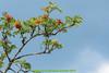 abetone (giordano torretta alias giokappadue) Tags: abetone albero blu cielo fruttirossi pianta rosso