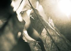 Lighting Autumn Memories (Charles Opper) Tags: autumn canon fall hmbt abstract blackandwhite bokeh leaves light macro memories monochrome mood nature organicpattern midway georgia unitedstates