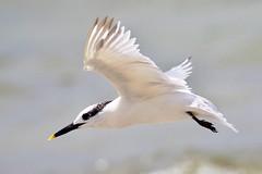 Sandwich Tern Inflight (dbadair) Tags: outdoor seaside shore sea sky water nature wildlife 7dm2 gulf ft desoto bird