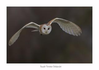 Effraie des clochers - Western Barn Owl