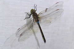 Anax ephippiger (zimbart) Tags: africa mozambique gorongosanationalpark chitengo fauna arthropoda insects specinsect odonata anisoptera aeshnidae anax anaxephippiger