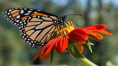 Monarch Butterfly (stephaniepluscht) Tags: louisiana new orleans botanical garden gardens monarch butterfly