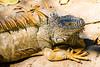 Iguana (Moshe Ovadya) Tags: mexico emount ngc iguana nature photoshop nikcollection sonysel55210e55–210mmf4563oss animals colorefexpro ixtapa sonyα6300 cocodrilarioplayalinda ilce6300 lightroom sel55210 sony a6300 crocodilefarm e estuary lizard guerrero mx
