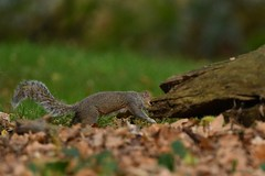Quick, hide! (JerryGoulet) Tags: richmondpark squirrels nature wildlife wilderness outdoors animals wood mammal