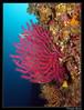 Gorgone rouge (Paramuricea chamaeleon) et gorgone jaune (Eunicella cavolinii) (cquintin) Tags: cnidaria anthozoa octocorallia gorgonacea gorgoniidae paramuricea chamaeleon gorgone