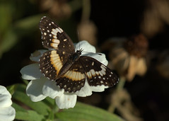Bordered Patch butterfly (KsCattails) Tags: black butterfly butterflyid johnsonco kansas kscattails october overlandparkarboretum tan unknown white borderedpatch