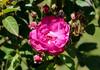 Maig_1435 (Joanbrebo) Tags: barcelona catalunya españa es park parque parc parccervantes gente jardín jardí rosa rose flors flores flowers fleur fiori blumen blossom canoneos70d eosd efs18135mmf3556is autofocus