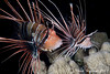 White-Lined Lionfish getting ready to spawn. Shaab Mahmoud. Night dive.02. (hsacdirk) Tags: lionfish coral reef red sea diving