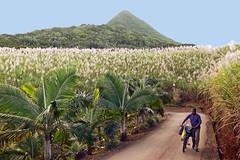 Life For Sugarcane (TablinumCarlson) Tags: sugarcane afrika africa mauritius maurice leica dlux 2 sugar cane moon photo zucker sweet zuckerrohr indian ocean island plantation man bike field palmtrees tress lamdschaft landscape