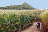 Life For Sugarcane (TablinumCarlson) Tags: sugarcane afrika africa mauritius maurice leica dlux 2 sugar cane moon photo zucker sweet zuckerrohr indian ocean island plantation man bike field palmtrees tress lamdschaft landscape