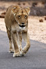 2016 10 13_Lion-1.jpg (Jonnersace) Tags: lion lioness krugernationalpark southafrica pantheraleo lowersabie road safari canon power predator topofthefoodchain mammal hunter wildwingssafaris