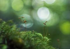 forest floor wonders (gnarlydog) Tags: adaptedlens australia manualfocus forest macro closeup moss nature meyeroptiktrioplan50mmf29 green bokeh speckledhighlights backlit contrejour bubbles rainforest