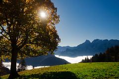 Maple Tree in the Mountain Sun
