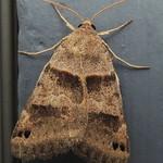 8739 – Forage Looper Moth – Caenurgina erechtea thumbnail