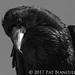 Crow head-7408
