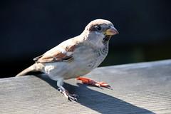 Testen des Sigma18-300 (bo-joerg) Tags: bergerhof nrw tiere vogel feldsperling sperling spatz